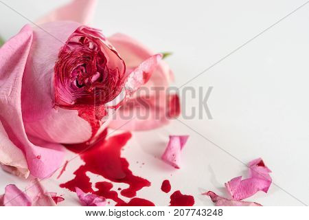 cut rose blossom blood and petals on a bright gray background concept for the international day of zero tolerance for female genital mutilation 6 february selected focus