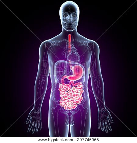 3D Illustration of Human Digestive System Anatomy (Stomach with Small Intestine)