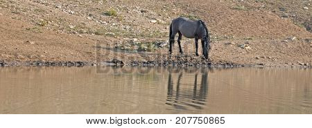 Silver Gray Grulla wild horse stallion reflecting at the waterhole in the Pryor Mountains Wild Horse Range on the Wyoming Montana state border - United States