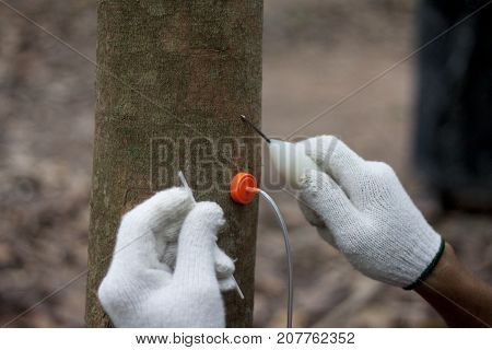Rubber injection technology in tree rubber plant step injection of needle in side shell of a tree allow two centimeter before use tube.in Thailand.