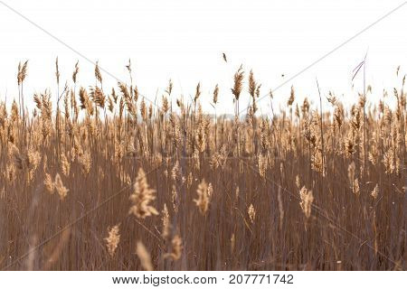 bulrush in nature . In the park in nature