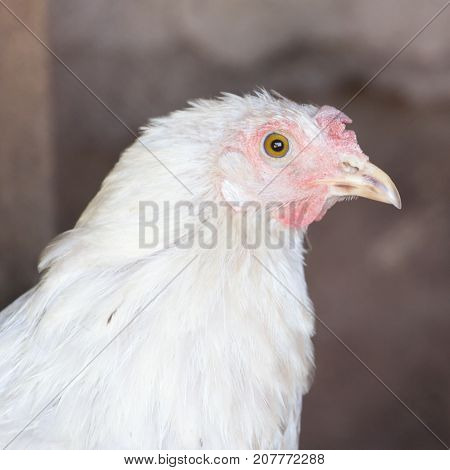 portrait of a chicken . In the park in nature
