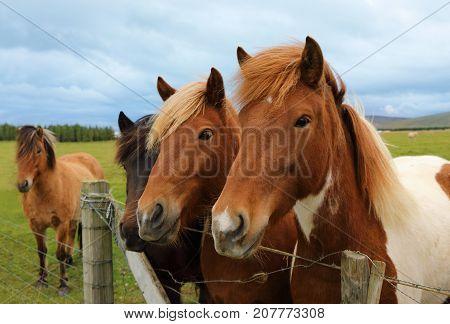 Portrait of beautiful Icelandic horses on the paddock Iceland
