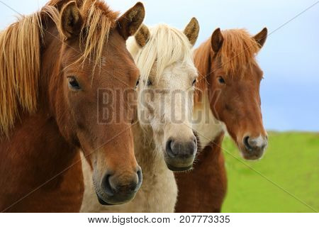 Portrait of beautiful Icelandic horses in a field in nature landscape of Iceland Iceland