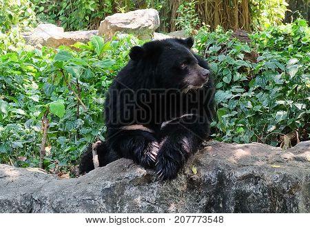 Animal and Wildlife Asian Black Bear Moon Bear and White Chested Bear Sitting on A Rock.