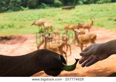 The friendship of man and the elephant. The elephant takes the trunk of a banana from the palm of the visitor to the zoo. In the background deer graze.
