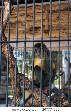 Yalta, Crimea - 11 July, Monkey on a tree in a cage, 11 July, 2017. Zoo and animals on the territory of the hotel Yalta Intourist.