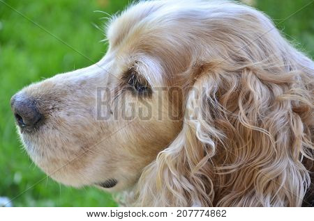 Brown spaniel with tapered ears hanging down his head