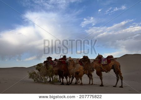 Caravan of camels takes a rest on the desert. Camels eating on the sand dunes.