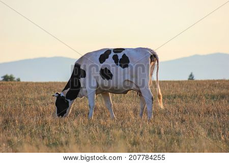 Cows And Grass