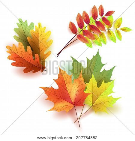 Autumn leaves set, isolated on white background. Rowan tree, oak, maple leaf. Bouquet from autumn leaves. Vector illustration.