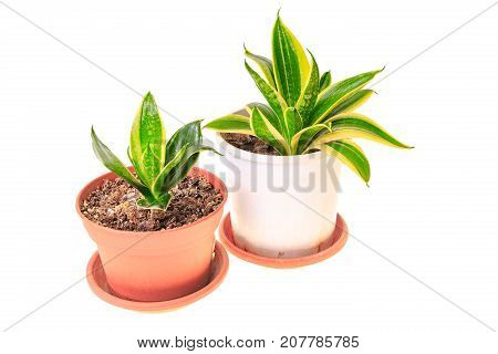Two Sansevieria In Pots