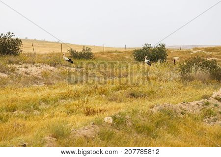 Two big wild storks in a dry grass