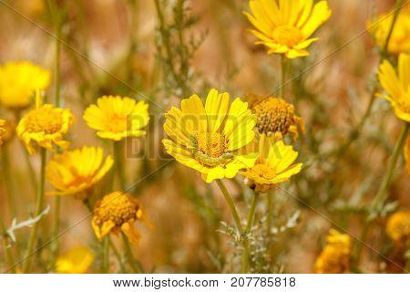 Yellow Chrysanthemum Coronarium With Green Caterpillar