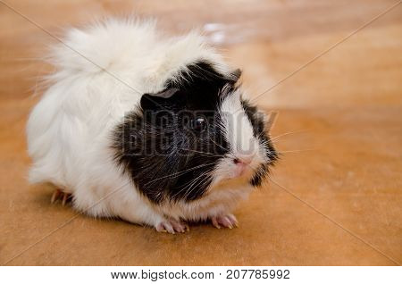 Cute black and white Abyssinian guinea pig against a wooden background