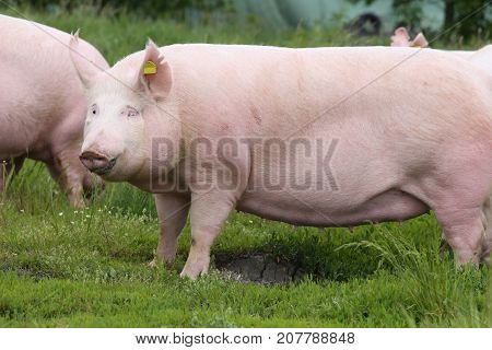 Mighty sow pig posing on green grass meadow