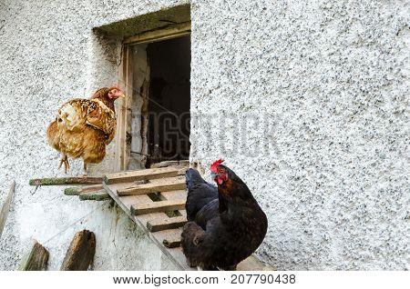 Hens Leaving Their Coop