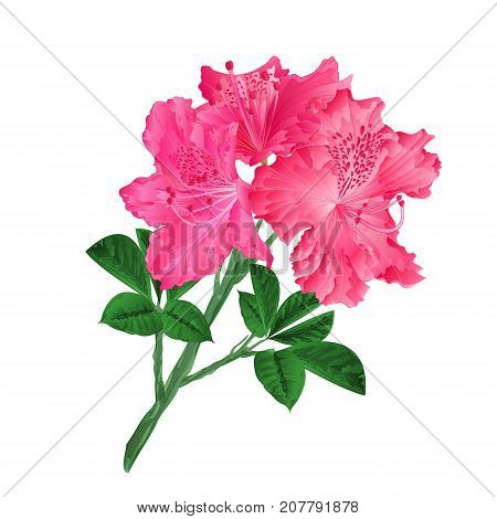 Flowers red rhododendrons twig on a white background vintage vector illustration editable hand draw