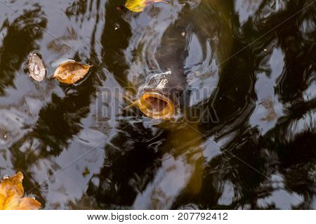 Close-up of a big Carp with open Mouth. View from above on a large Carp Fish in the Water. Natural Nature and Animal Backgrounds