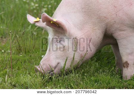 Head shot of big sow pig outdoors