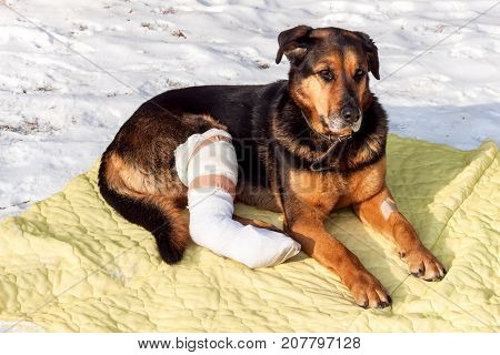 Sick dog lying on a blanket. Treatment of injured hind legs of a dog