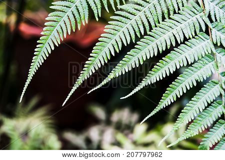 Close up on Beautiful Nature Green Tree Fern Leaf in nature outdoor after raining.