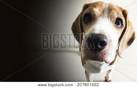 Young Beagle hound dog with sad eye standing in bright light.