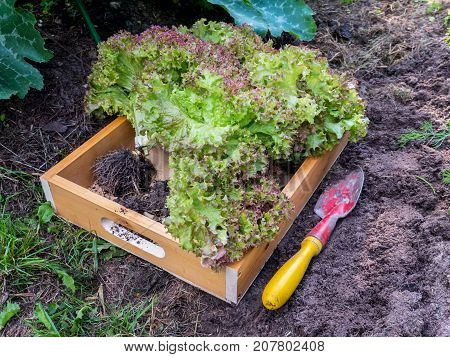 Lollo Rosso coral lettuce salad heads in the wooden box. Green vegetables harvesting in the organic garden.
