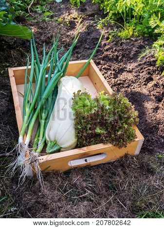 Zucchini Lollo rosso lettuce salad and green onion in the wooden box in the organic vegetable garden