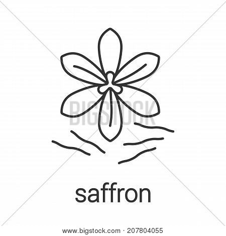Saffron linear icon. Thin line illustration. Crocus. Contour symbol. Vector isolated outline drawing