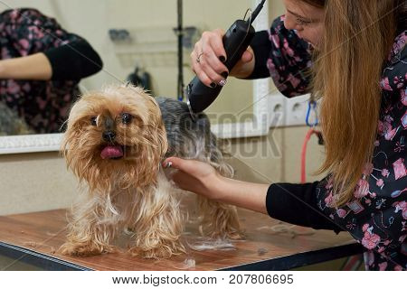 Female dog groomer, york terrier. Little dog getting haircut.