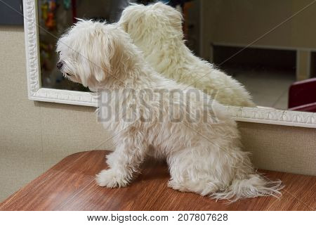 White maltese side view. Furry dog on the table. Young purebred dog.