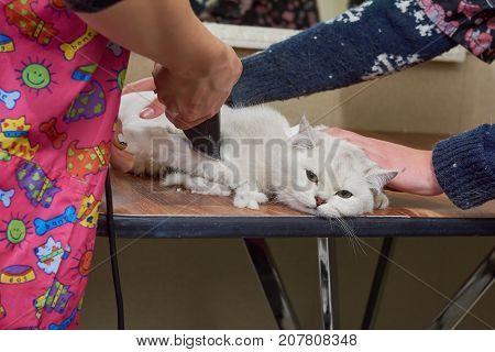 British shorthair white, haircut. Cat at the groomer. Pet salon reviews.