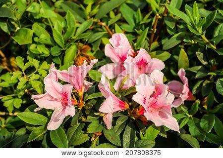 Closeup of Big pink azalea bush in the garden