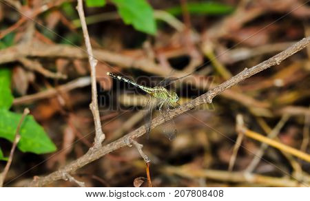 Light Green Dragonfly on a grass on the brown plant