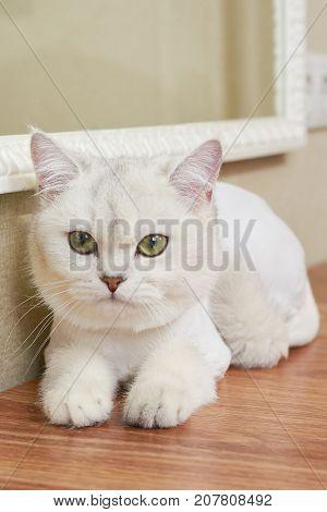 Cute cat close up. Beautiful white british shorthair.