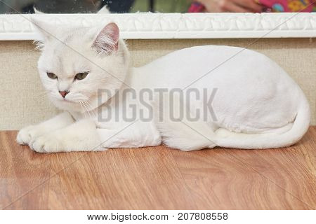 Beautiful cat side view. Young white british shorthair.