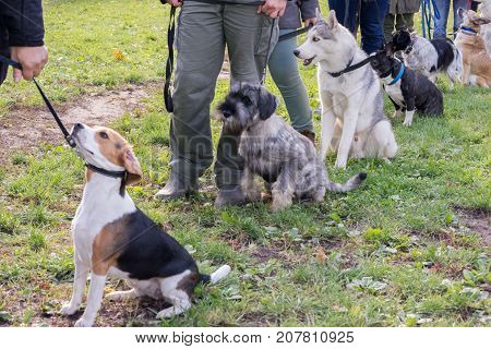 Group of dogs with owners at obedience class. Queue of dogs in diagonal beagle and shnauzer on the front line.