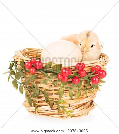 Cute newborn chicken in the nest isolated over white background