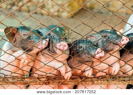 Pig (hog) in rusty fence for feeding animal for background or texture - Pet concept.