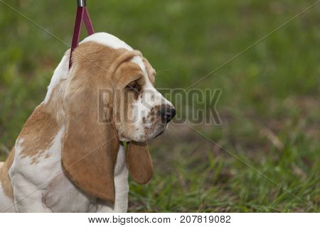 Little Puppy Basset Hound For The First Time On A Leash In A Walk