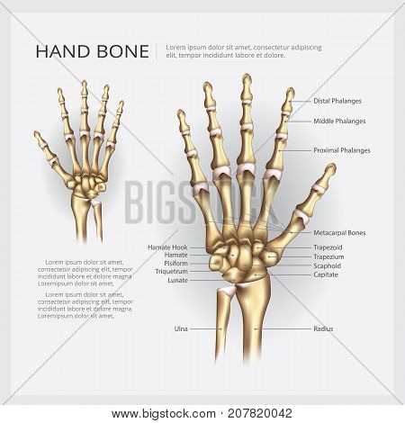 Hand Bone Skeleton Human Anatomy Vector Illustration