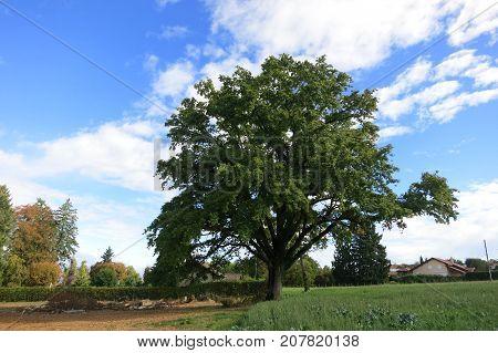 Oak tree near Leman Lake, french alps.