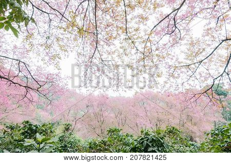 Wild Himalayan Cherry Blossoms in spring season on beautiful mountain in forest as background