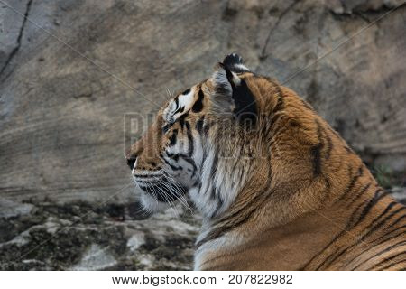 One tiger staring off into the distance looking relaxed