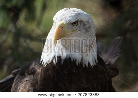 One Eagle stareing a far with blured background