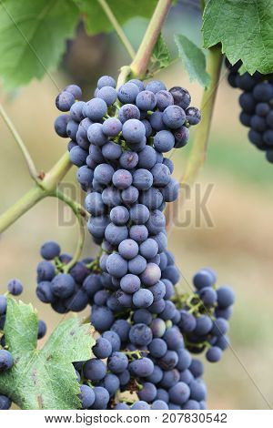 Wine grape Pinot noir with in vine yard