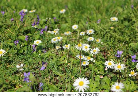 Grass full of ox-eye daisy - also oxeye daisy (Leucanthemum vulgare) common dog or moon daisy and Viola odorata also known as wood sweetEnglish common florist's or garden violet