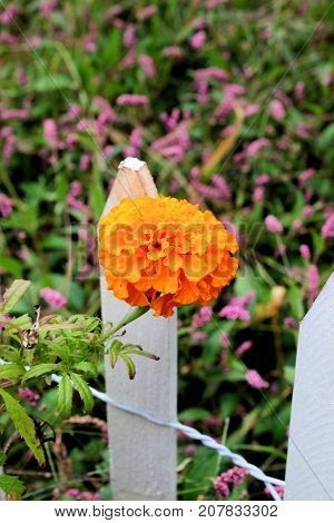 Large orange marigold growing next to a small white picket fence.