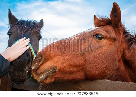 Woman's Hand Stroking Horse Head Standing In A Stable , Horse With The Head Outside Of The Stable